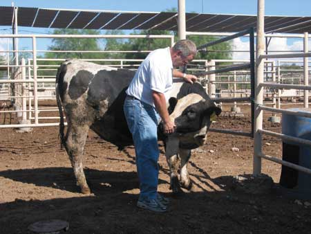 half skinned steer Her story half-skinned steer, was selected for john updike's edition of the  best american short stories of the century proulx's humility in.