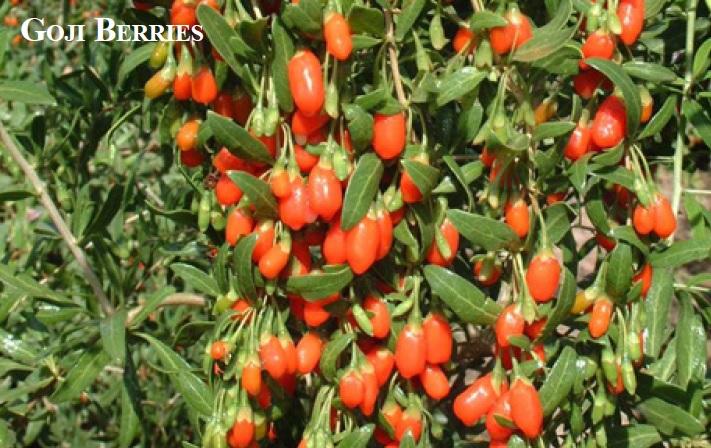 Backyard Gardener Growing Goji Berries December 2 2015