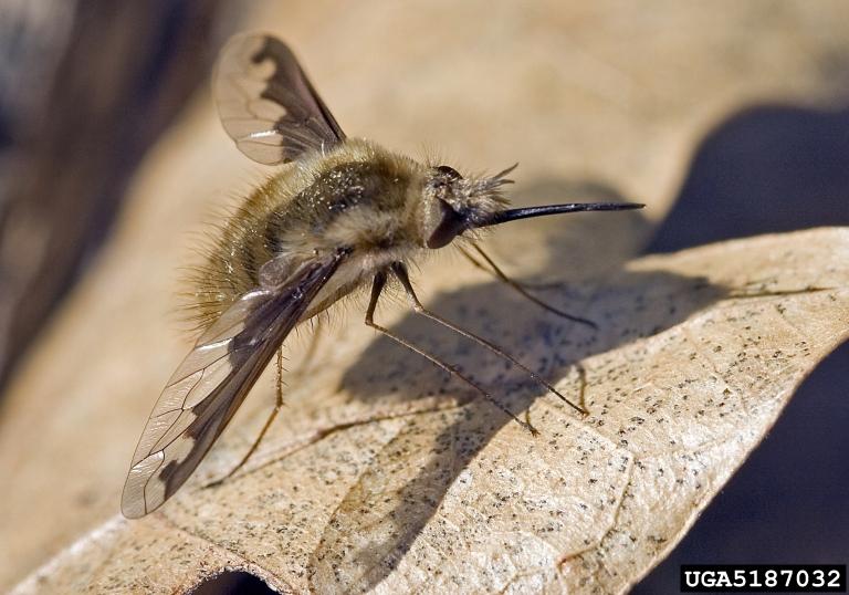 Backyard Gardener - Bee Flies - September 10, 2014