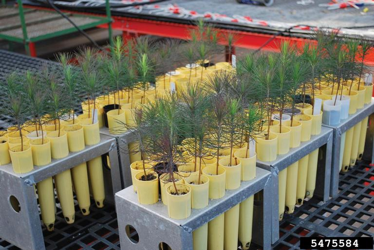 backyard gardener growing native trees from seed