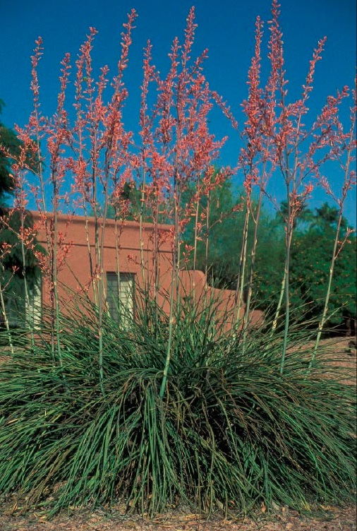 Backyard Gardener Red Yucca It S Colorful And Drought