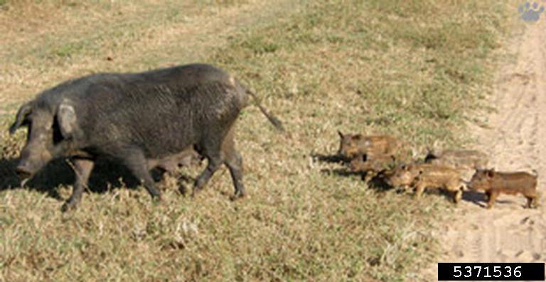 Feral Hog Sow And Litter Vladimir Dinets University Of Miami Bugwood Org