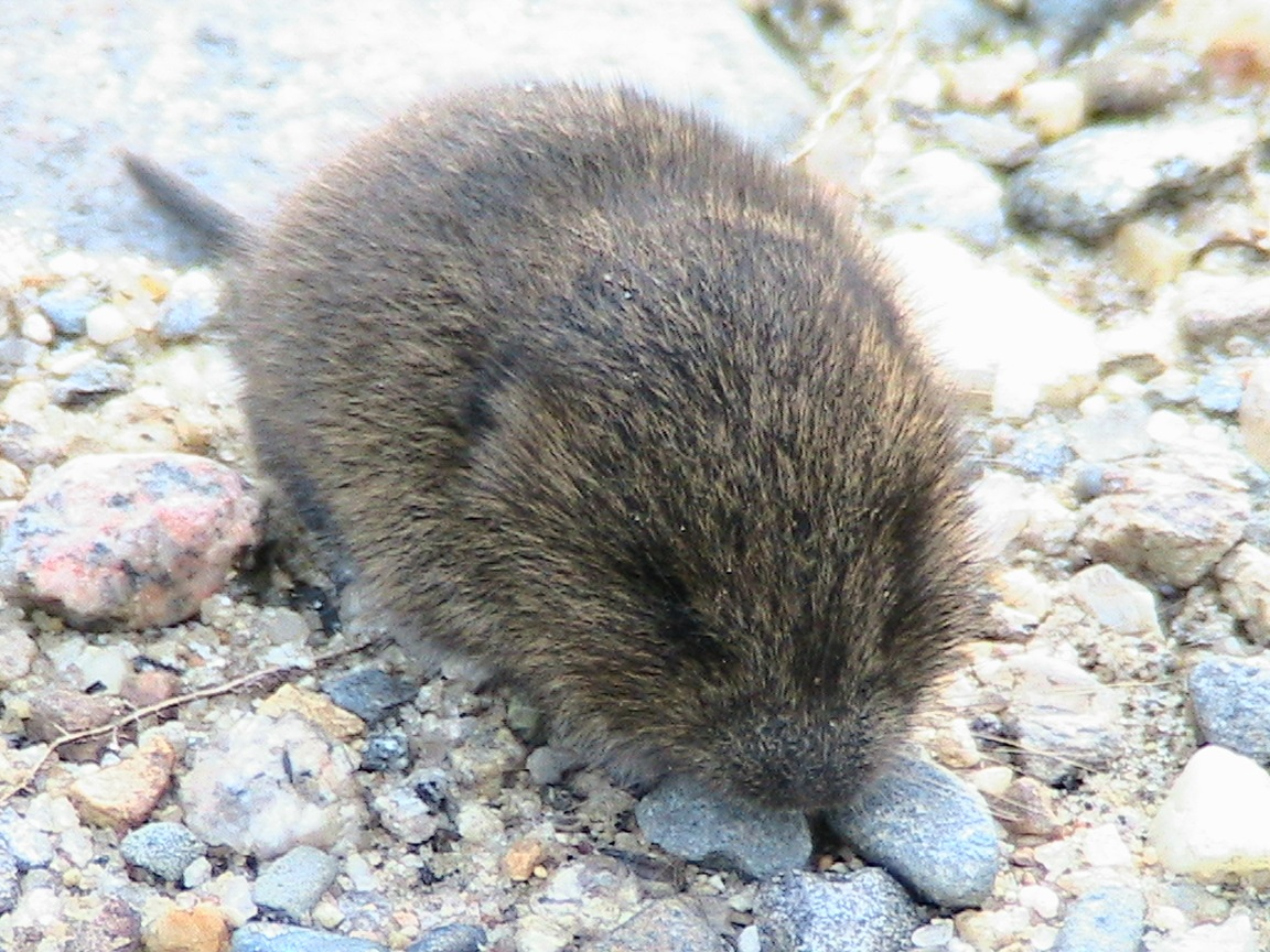 Rodent that looks like a beaver